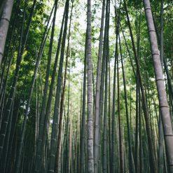 La bambouseraie d'Arashiyama